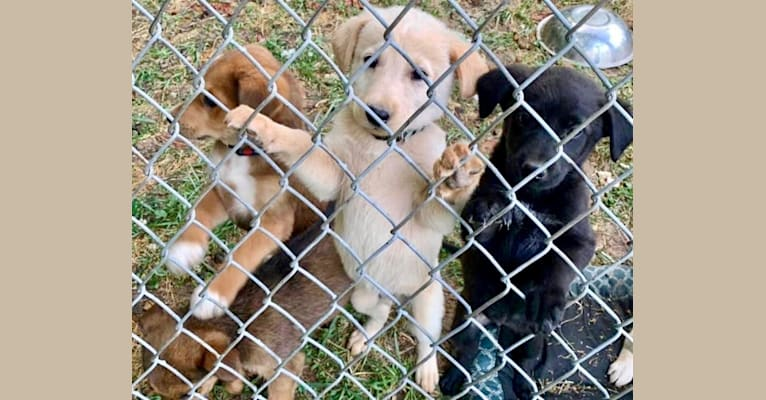 Photo of Cooper Lane, a German Shepherd Dog, Labrador Retriever, Chow Chow, and American Pit Bull Terrier mix in Tennessee, USA