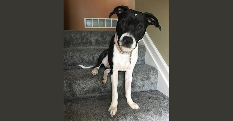 Photo of Duke, an American Pit Bull Terrier, American Staffordshire Terrier, and Mixed mix in Bainbridge, Pennsylvania, USA