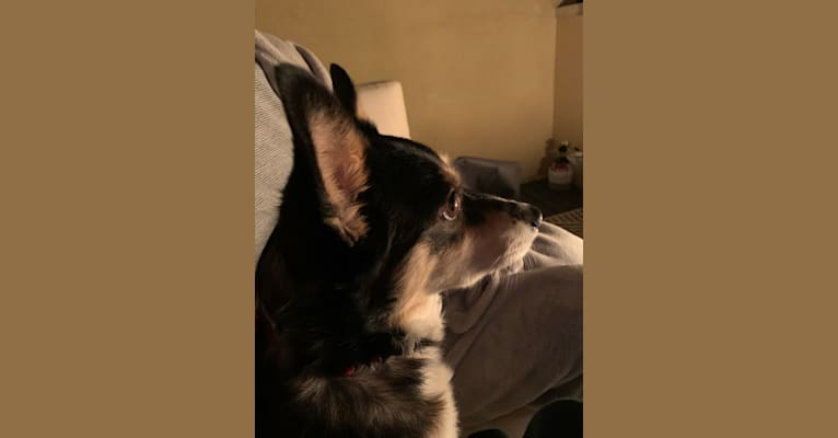 Photo of Tesla, a Pembroke Welsh Corgi, Border Collie, and Mixed mix in Bakersfield, CA, USA
