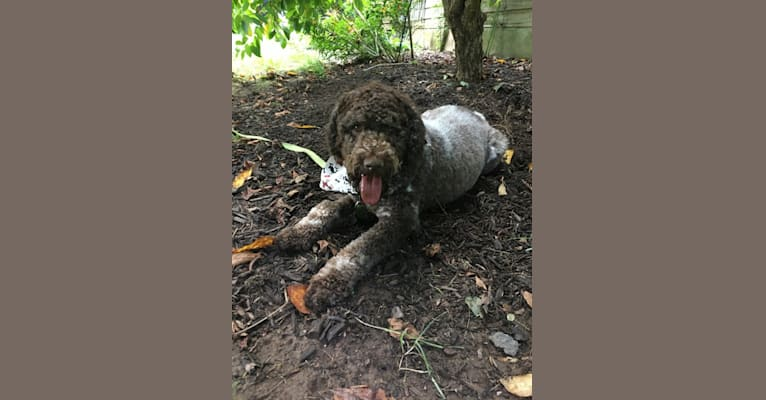 Photo of Finley, a Lagotto Romagnolo  in Holtwood, PA, USA