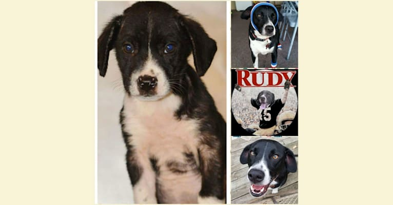 Photo of Rudy, a Labrador Retriever, Chow Chow, Great Pyrenees, Bulldog, Treeing Walker Coonhound, and Mixed mix in Fayetteville, GA, USA