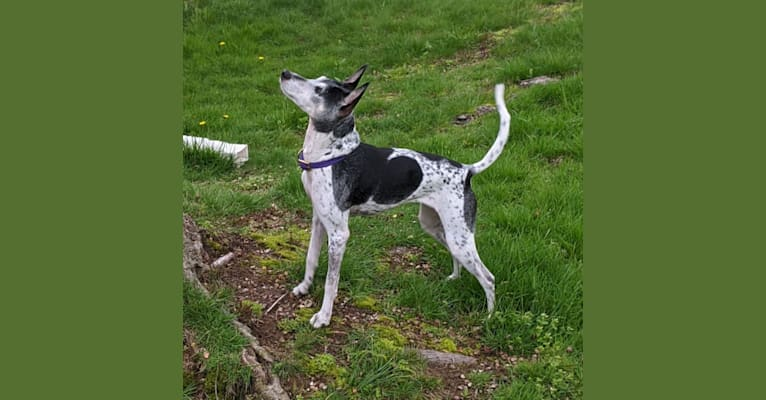 Photo of Kayla, a Rat Terrier, Mountain Cur, American Hairless Terrier, American Pit Bull Terrier, and Mixed mix in New Jersey, USA