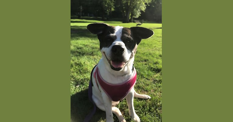 Photo of Tracy, an American Pit Bull Terrier and Chihuahua mix in Waycross, Georgia, USA