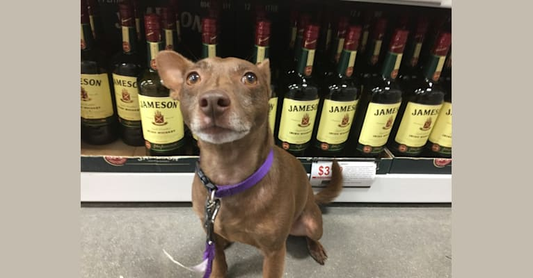 Photo of Jameson, a Rat Terrier  in SF, California, USA