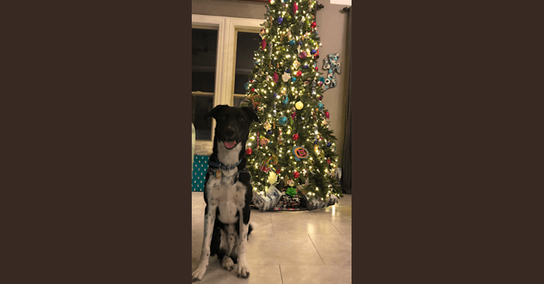 Photo of Fletcher, a Siberian Husky and German Shorthaired Pointer mix in Dallas, Texas, USA
