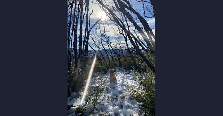 Photo of Echo, a Golden Retriever and Labrador Retriever mix in Murrieta, California, USA