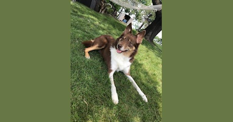Photo of Koda, an Australian Shepherd, Alaskan-type Husky, Siberian Husky, and Australian Cattle Dog mix in Minnesota, USA
