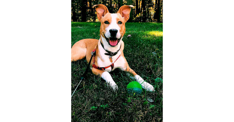 Photo of Boston, a German Shepherd Dog, American Pit Bull Terrier, American Staffordshire Terrier, and English Springer Spaniel mix in Ringwood, New Jersey, USA