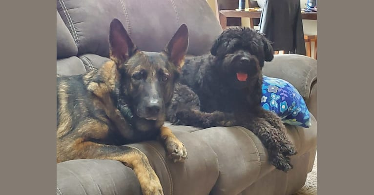 Photo of Mina, a Bouvier des Flandres  in Clinton Twp, Michigan, USA