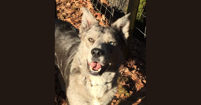 Photo of Kavik, an Australian Cattle Dog, Chow Chow, American Pit Bull Terrier, Akita, and Mixed mix in Olalla, Washington, USA