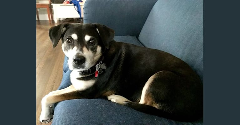 Photo of Lady, a Chow Chow, Labrador Retriever, American Pit Bull Terrier, Boxer, and Australian Cattle Dog mix