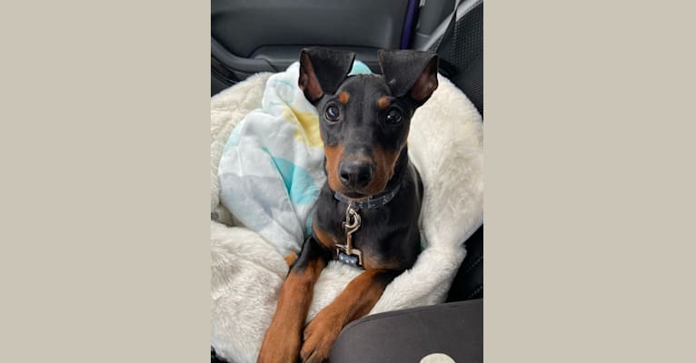 Photo of Dobby, a German Pinscher  in Ontario, Canada