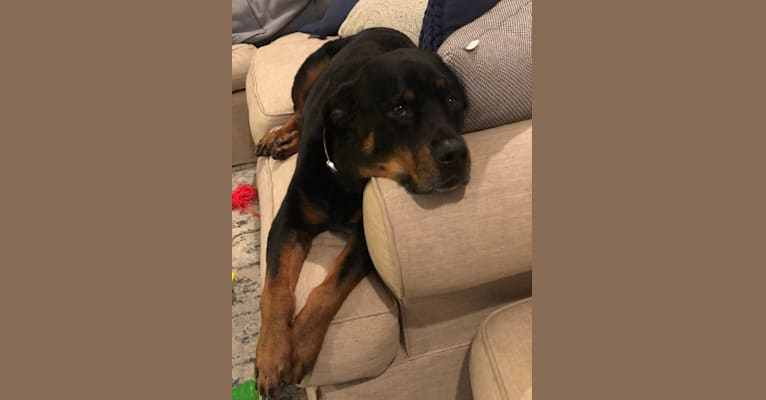Photo of Samson, a Rottweiler  in Indianapolis, Indiana, USA