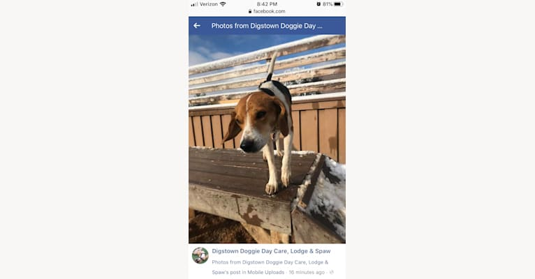 Photo of Emmett, a Beagle and Miniature Pinscher mix in Denver, Colorado, USA