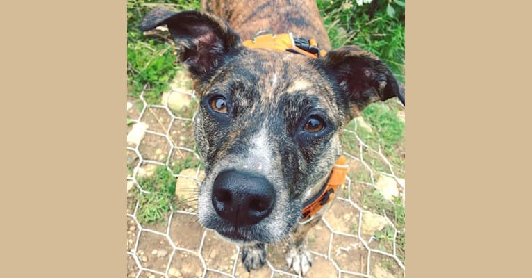 Photo of Quinn, an American Pit Bull Terrier, Australian Cattle Dog, and Boxer mix in Hazard, Kentucky, USA