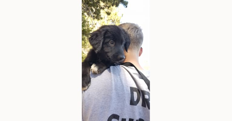 Photo of Django, a Border Collie, Golden Retriever, Australian Cattle Dog, Labrador Retriever, and Mixed mix in Angels Camp, CA, USA