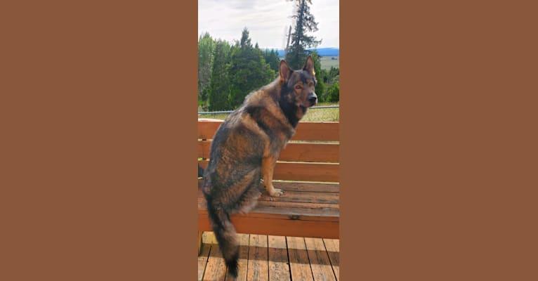 Photo of MUKKI, a German Shepherd Dog mix in Lebanon, OR, USA