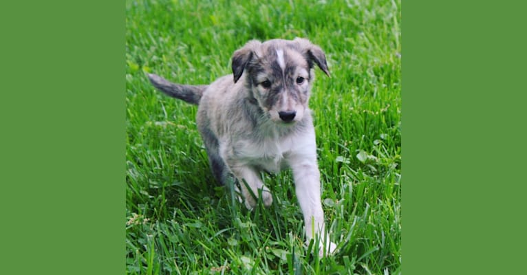Photo of Demo, a Silken Windhound  in Kokomo, IN, USA