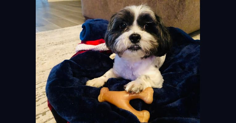 Photo of Toby, a Malshi  in Orlando, Florida, USA