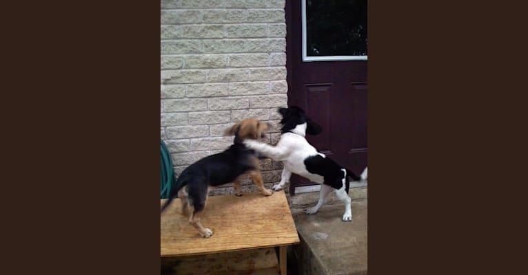 Photo of Polly, a Basset Hound, Weimaraner, and Australian Shepherd mix