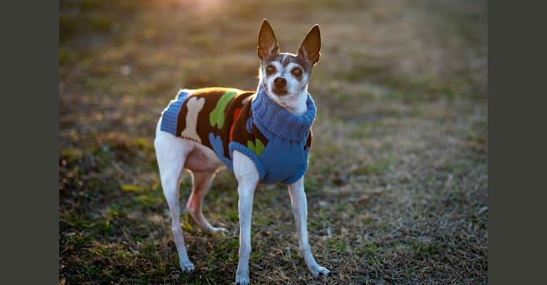 Photo of Taz, a Toy Fox Terrier  in Houston, TX, USA