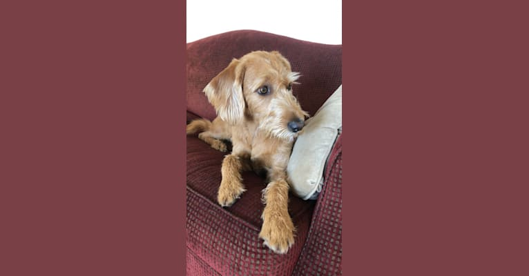 Photo of Turbo, a Labradoodle  in Lancaster, PA, USA