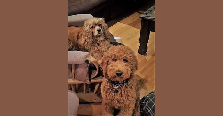 Photo of Oliver Beau, a Goldendoodle  in Clinton Twp, Michigan, USA
