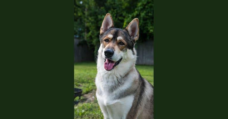 Photo of Thorin, a Siberian Husky and German Shepherd Dog mix