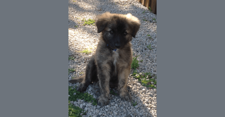Photo of Reemie, a Bouvier des Flandres, German Shepherd Dog, Golden Retriever, and Mixed mix in Meaford, Ontario, Canada