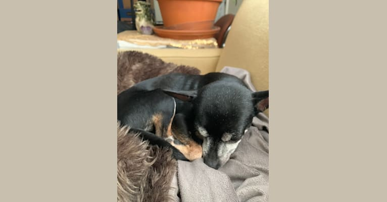 Photo of Jack, a Chihuahua  in Fairview, Texas, USA
