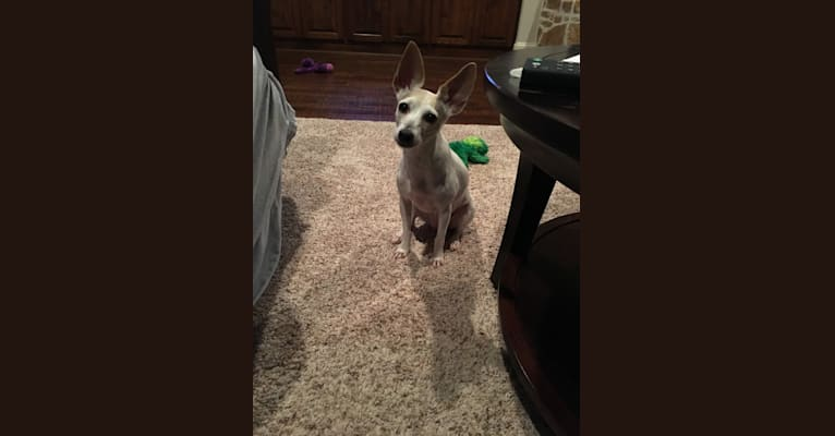 Photo of Maddy, a Toy Fox Terrier