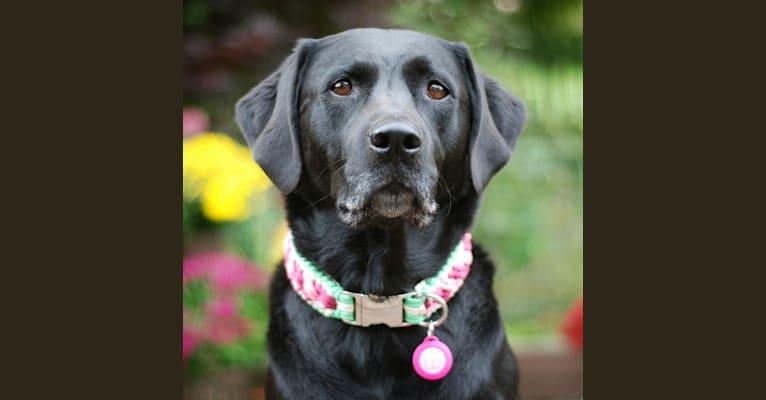 Photo of Lucy, a Labrador Retriever, Rottweiler, and Golden Retriever mix in Brookville, PA, USA