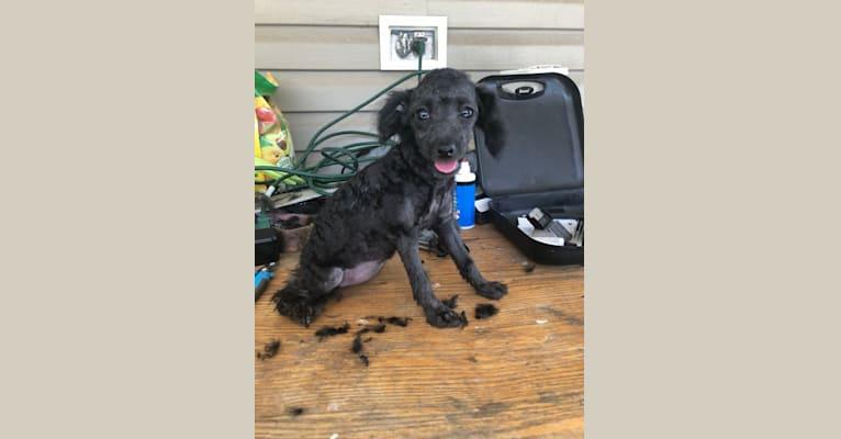 Photo of Chloe, a Poodle (Small)  in Houma, Louisiana, USA