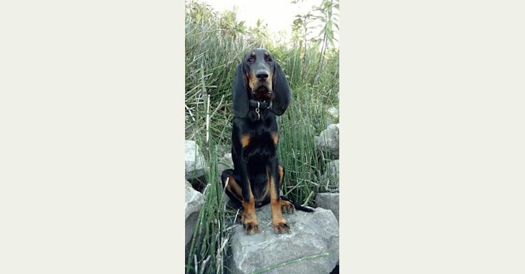 Photo of Lyric, a Black and Tan Coonhound  in Nebraska, USA