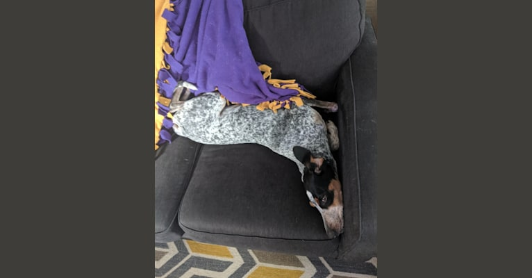Photo of Molly, a Bluetick Coonhound  in Knoxville, Tennessee, USA