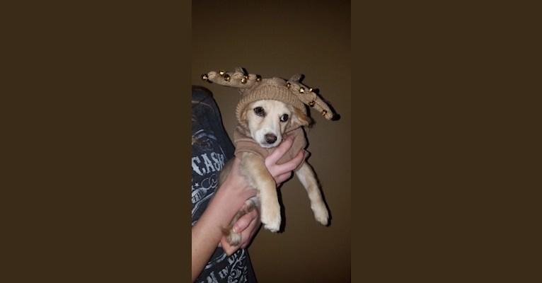 Photo of Hopper, a Chihuahua, Maltese, Pomeranian, and Mixed mix in California, USA