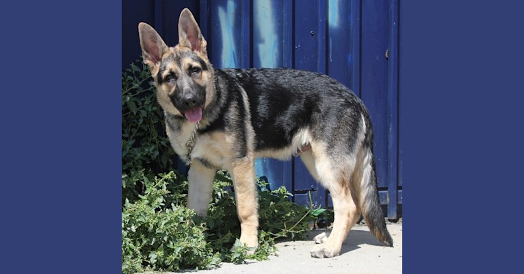 Photo of Blitz, a German Shepherd Dog  in Valparaiso, Indiana, USA