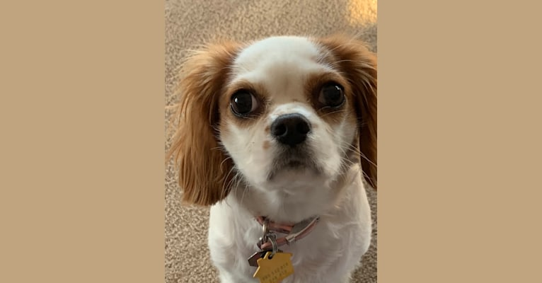 Photo of Annie, a Cavalier King Charles Spaniel  in Wisconsin, USA