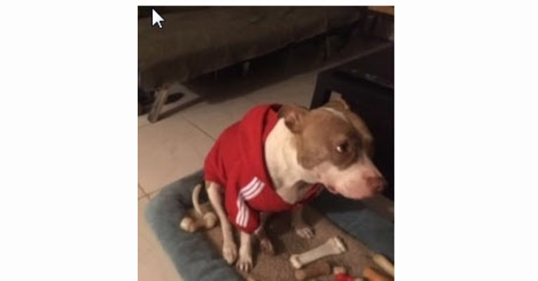 Photo of Millie, an American Pit Bull Terrier  in Pompano Beach, Florida, USA