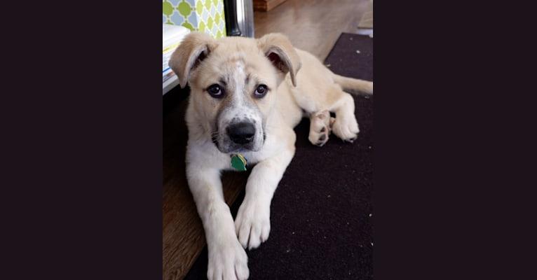 "Photo of Wyatt ""Murderbot"" Wolf-Hauser, a Great Pyrenees and Anatolian Shepherd Dog mix in Oklahoma, USA"