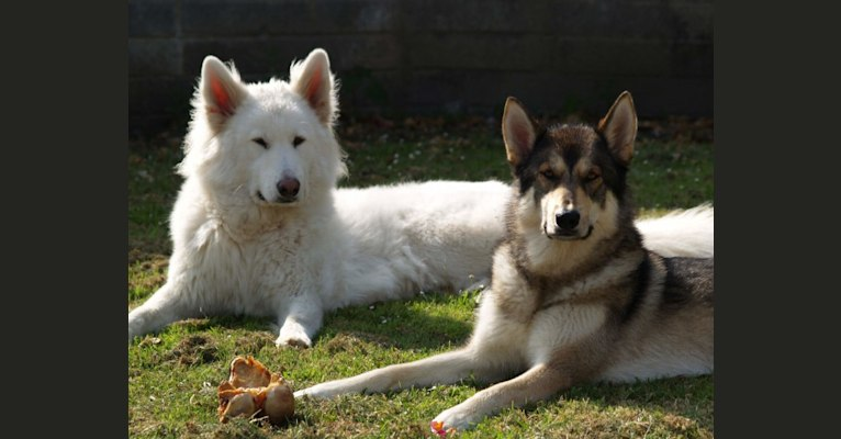 Photo of Alaska, a German Shepherd Dog and Akita mix in Waterford, County Waterford, Ireland