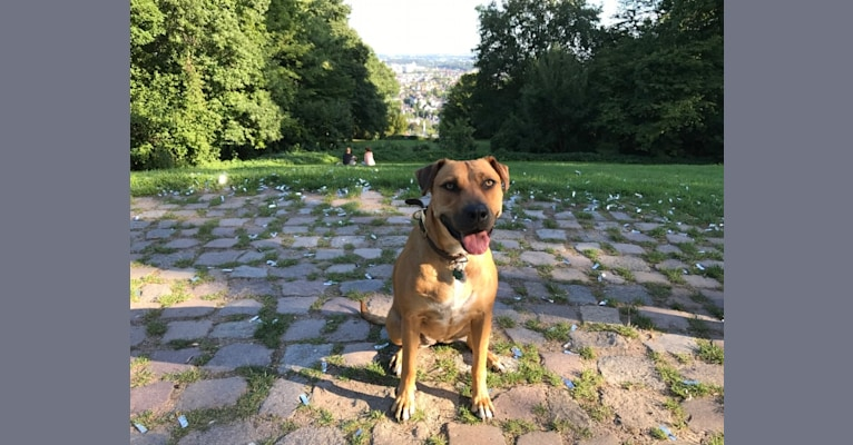 Photo of Vicenza, an American Pit Bull Terrier, Rottweiler, Golden Retriever, Boxer, and Mixed mix in Georgia, USA