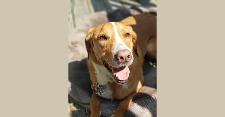 Photo of Odin, a Beagle, American Pit Bull Terrier, and Collie mix in Kentucky, USA