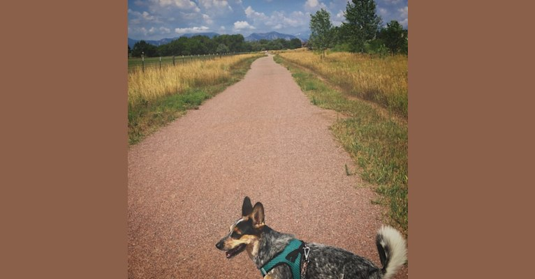 Photo of Indy, an Australian Cattle Dog, Boxer, and Border Collie mix in Parker, CO, USA