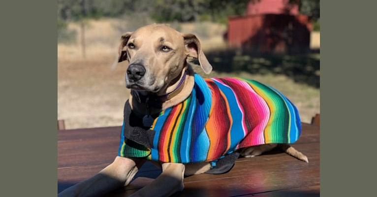 Photo of Kimble, a Blue Lacy  in Lipan, TX, USA