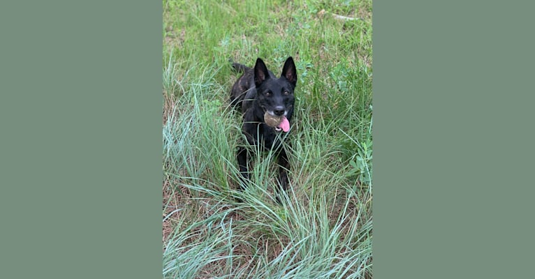 Photo of Nike des las Flores, a Dutch Shepherd  in Rochester, Washington, USA
