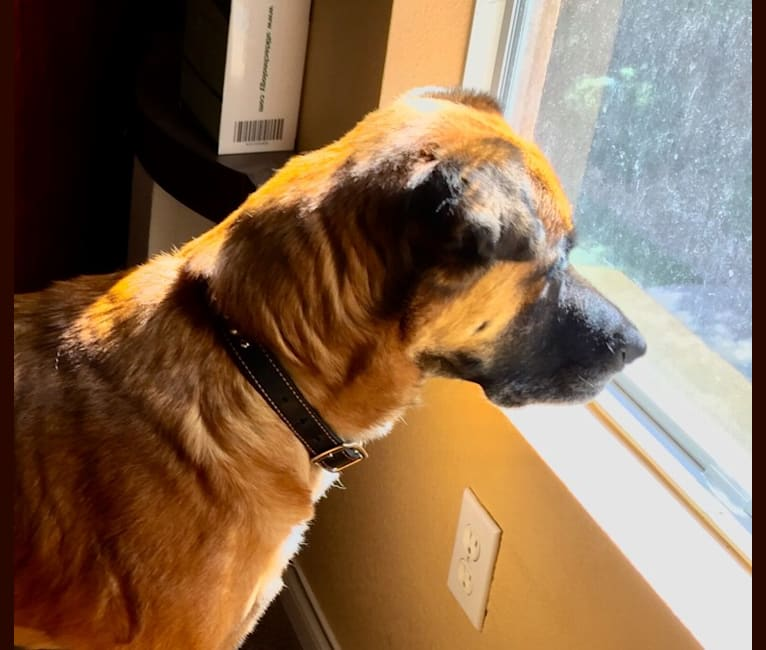 Photo of Taji, an Akita, American Pit Bull Terrier, Golden Retriever, and Rottweiler mix in Las Vegas, Nevada, USA