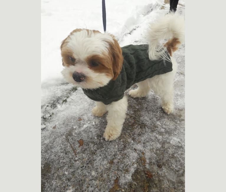 Photo of Charlie, a Shih Tzu, Pekingese, Poodle (Small), and Cocker Spaniel mix in Chicago, Illinois, USA