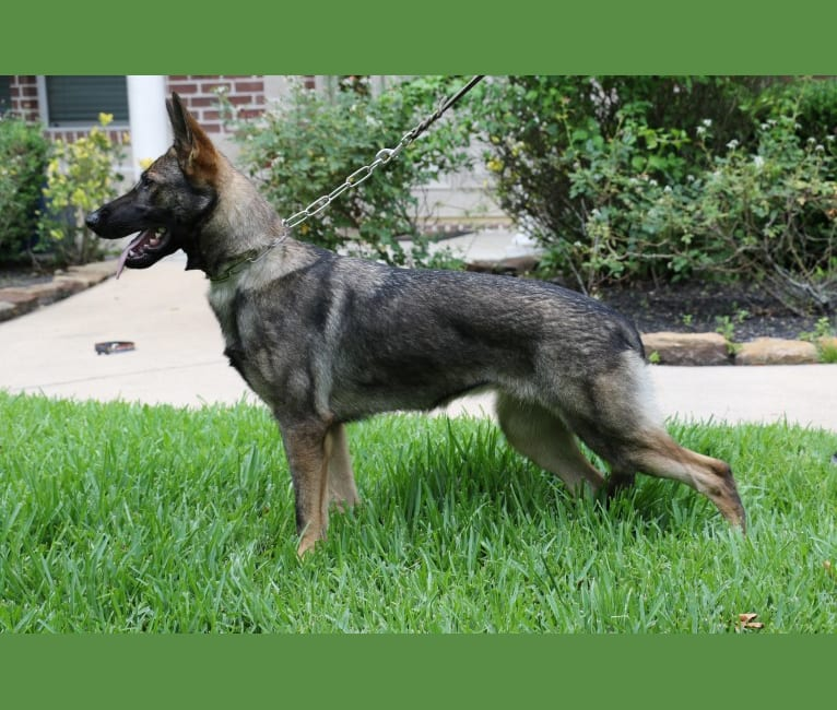 Photo of Banshee aus der Asche, a German Shepherd Dog  in Texas, USA
