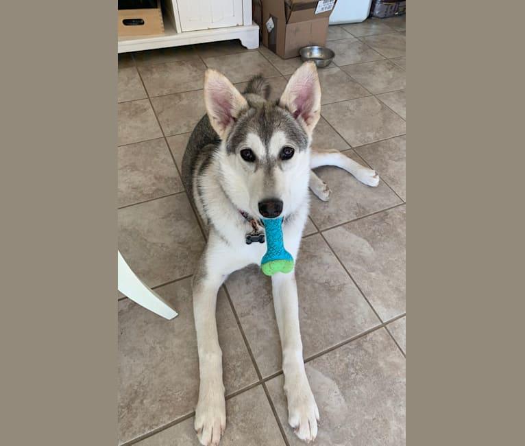 Photo of Davina, a Siberian Husky, Alaskan Malamute, German Shepherd Dog, and Samoyed mix in Aguanga, CA, USA